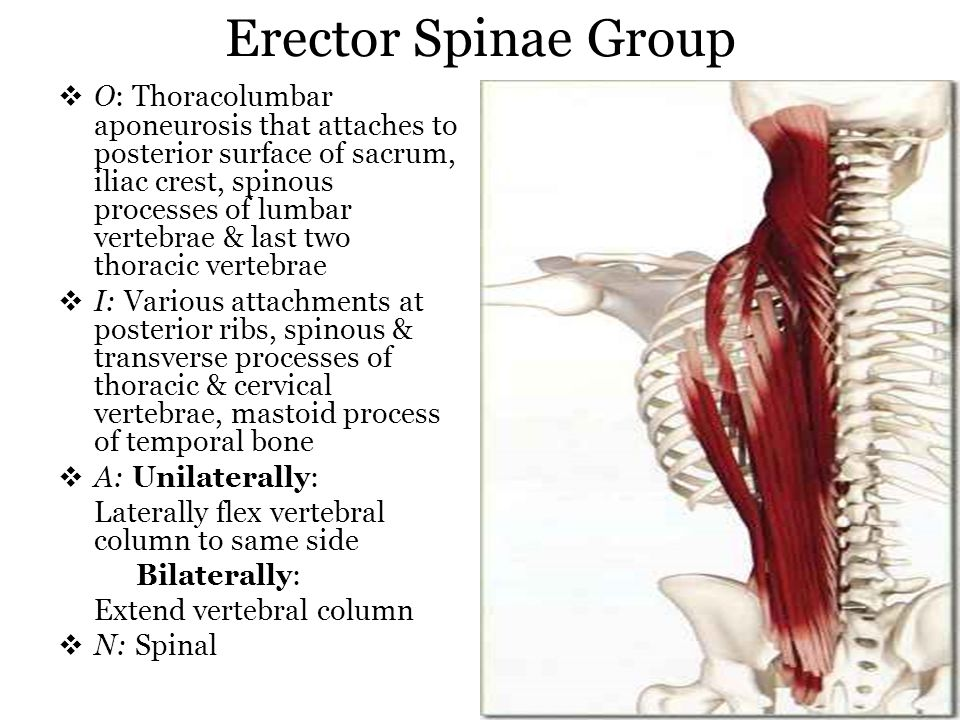 Erector Spinae Group