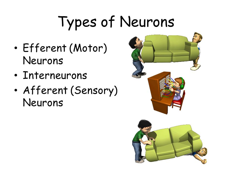 Types of Neurons Efferent (Motor) Neurons Interneurons