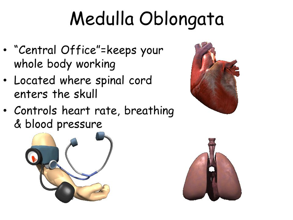 Medulla Oblongata Central Office =keeps your whole body working