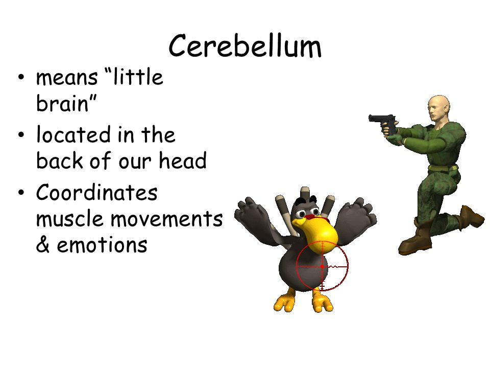 Cerebellum means little brain located in the back of our head