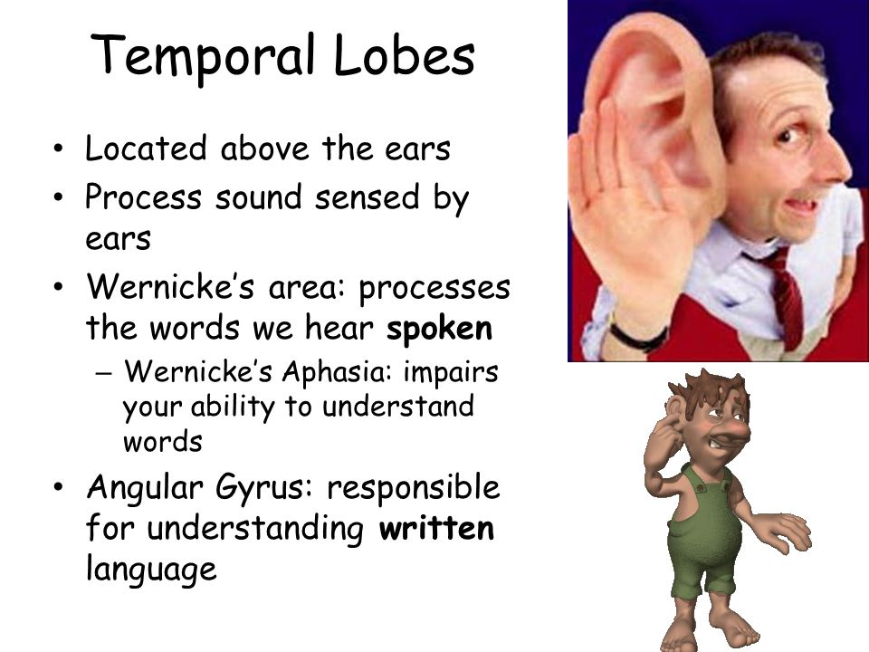 Temporal Lobes Located above the ears Process sound sensed by ears