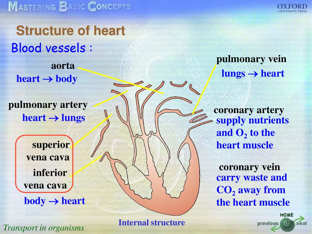 transport in organisms ppt downloadDiagram 88 The Internal Structure And Blood Flow Through The Heart #18