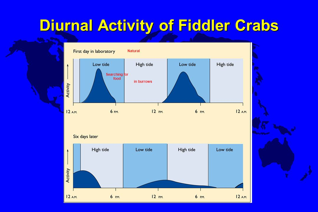 Diurnal Activity of Fiddler Crabs