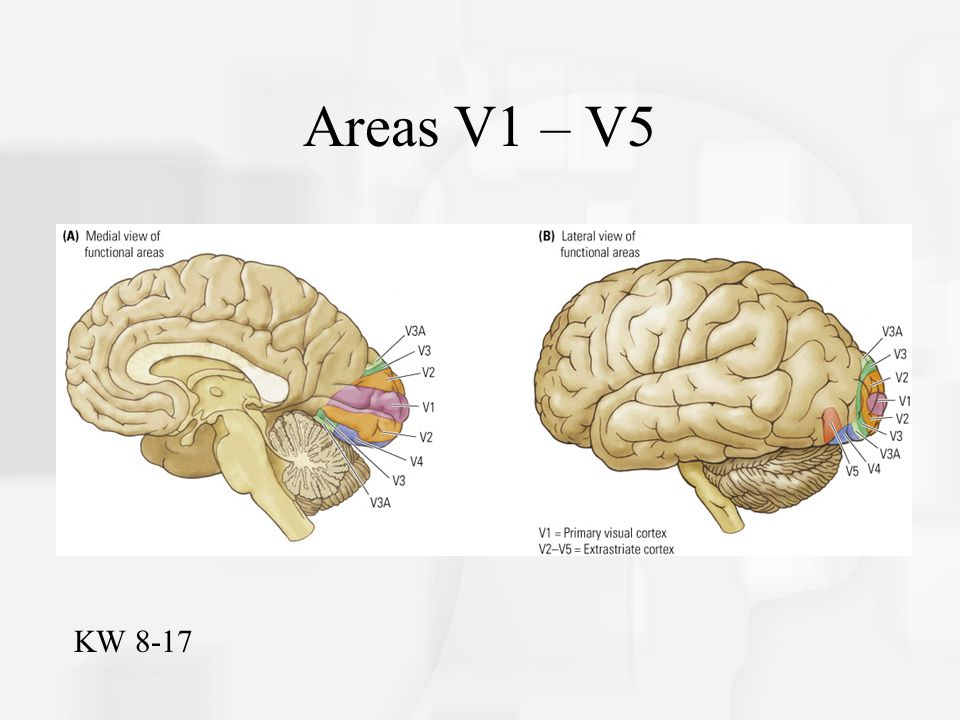 Chapter 4: The Visual Cortex and Beyond - ppt video online