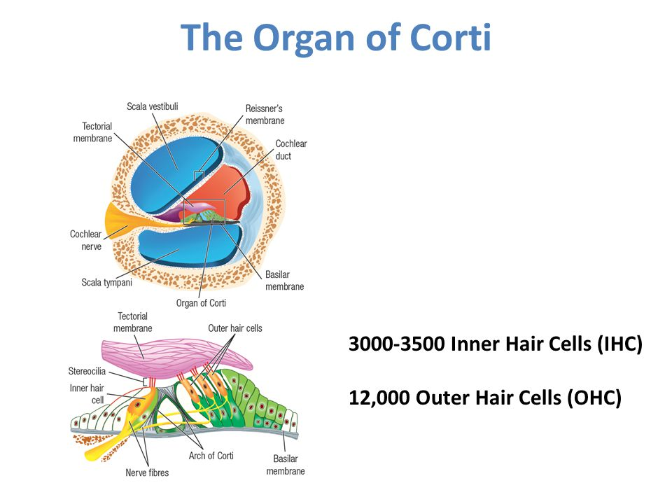 The Organ of Corti 3000-3500 Inner Hair Cells (IHC)