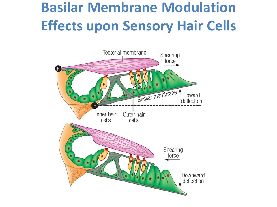 Basilar Membrane Modulation Effects upon Sensory Hair Cells