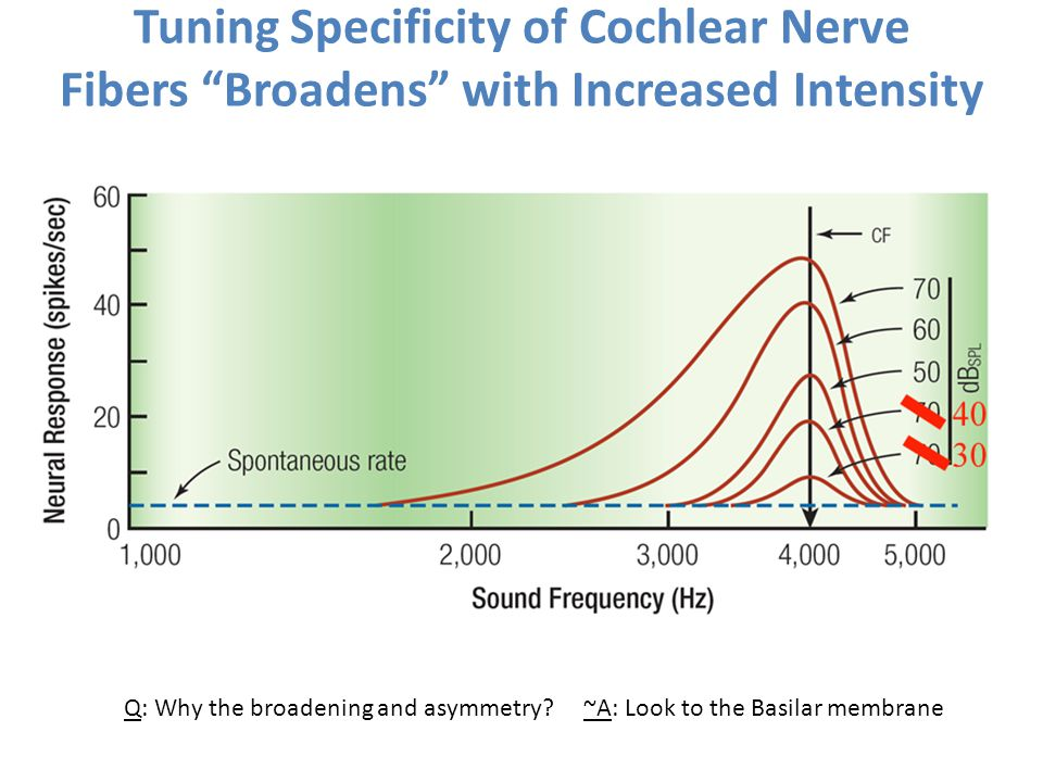 Tuning Specificity of Cochlear Nerve Fibers Broadens with Increased Intensity
