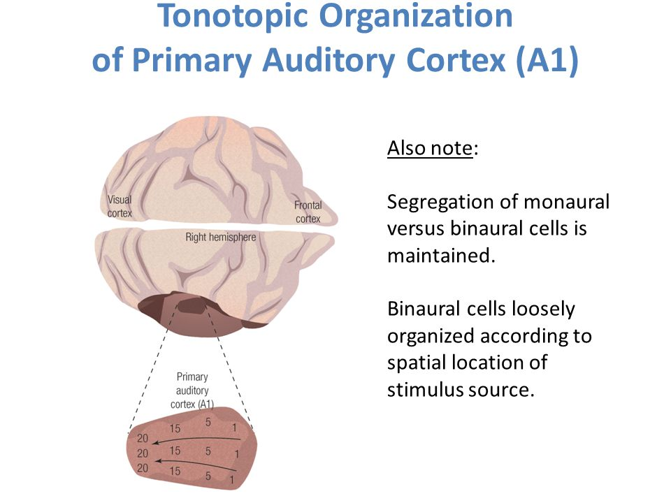 Tonotopic Organization of Primary Auditory Cortex (A1)