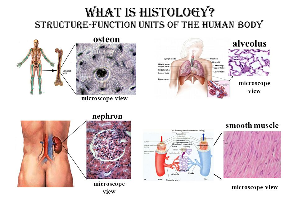 Structure-Function Units OF THE HUMAN BODY