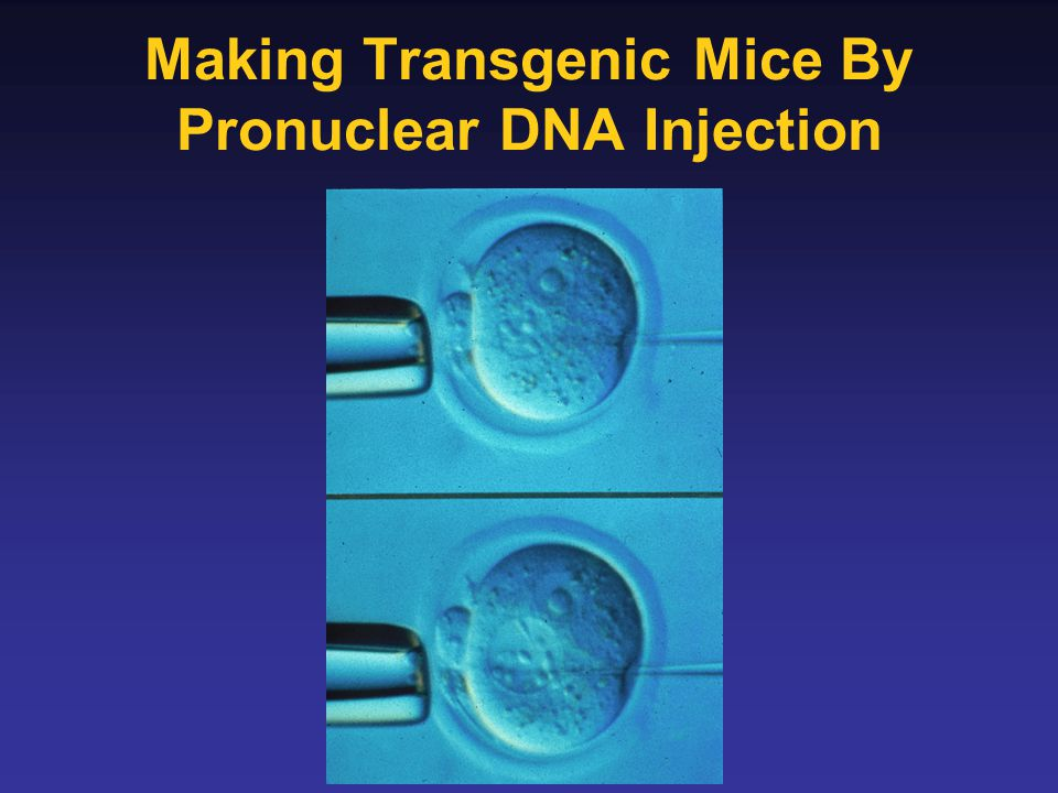 Making Transgenic Mice By Pronuclear DNA Injection