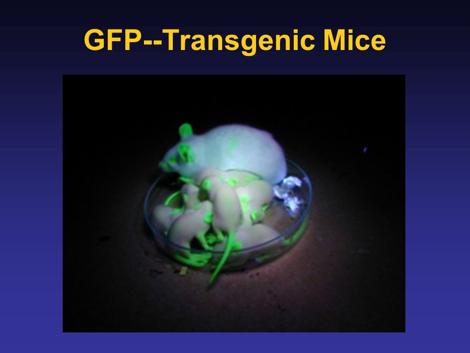 GFP--Transgenic Mice