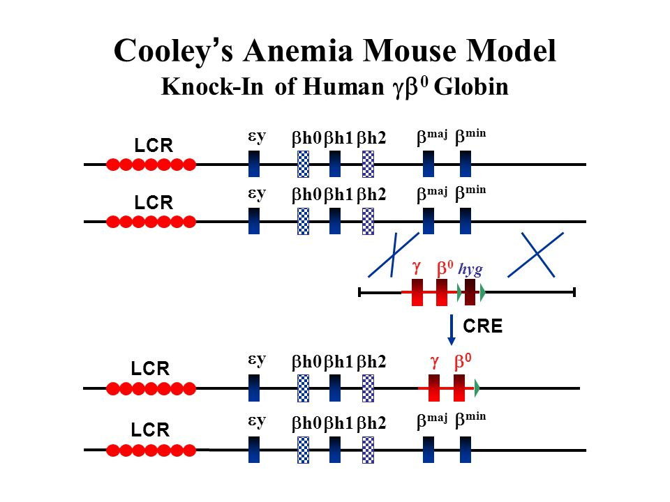 Cooley's Anemia Mouse Model Knock-In of Human g0 Globin