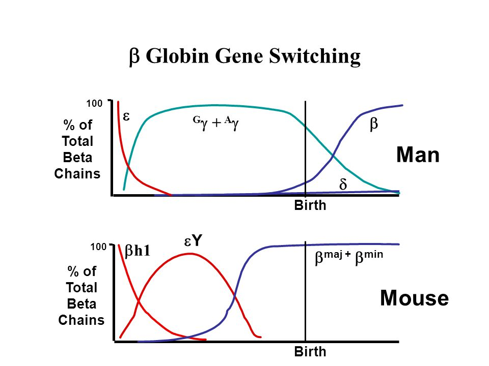  Globin Gene Switching