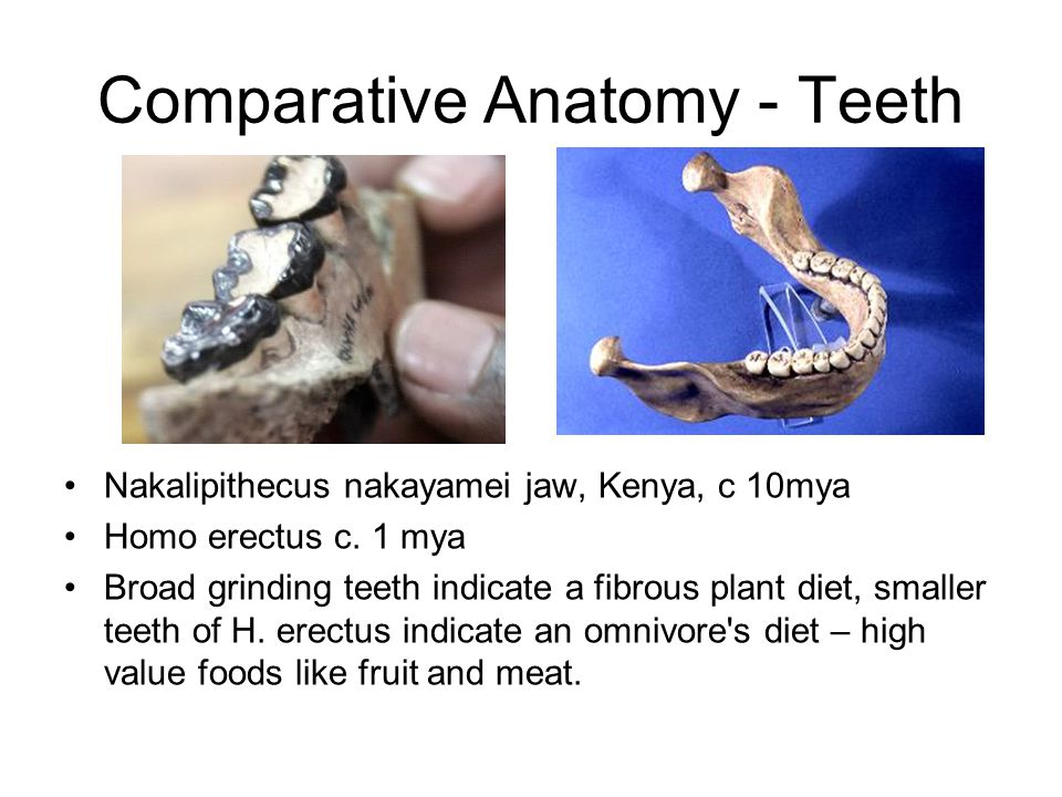 Comparative Anatomy - Teeth