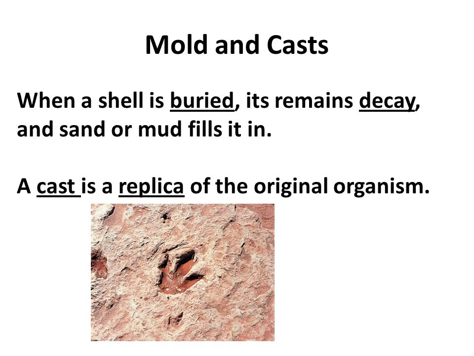 Mold and Casts When a shell is buried, its remains decay, and sand or mud fills it in.