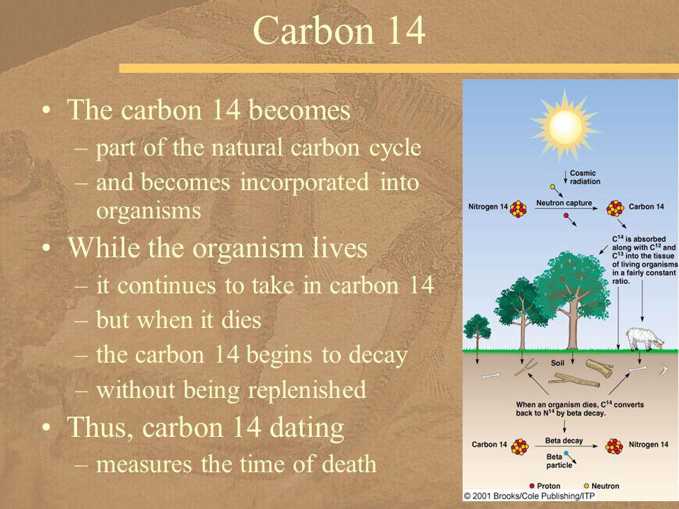 Carbon 14 The carbon 14 becomes While the organism lives