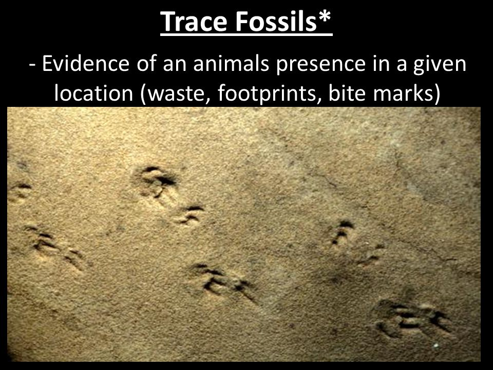 Trace Fossils* - Evidence of an animals presence in a given location (waste, footprints, bite marks)