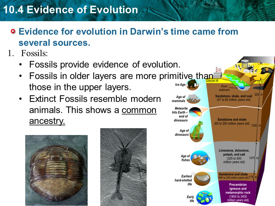 Evidence for evolution in Darwin's time came from several sources.
