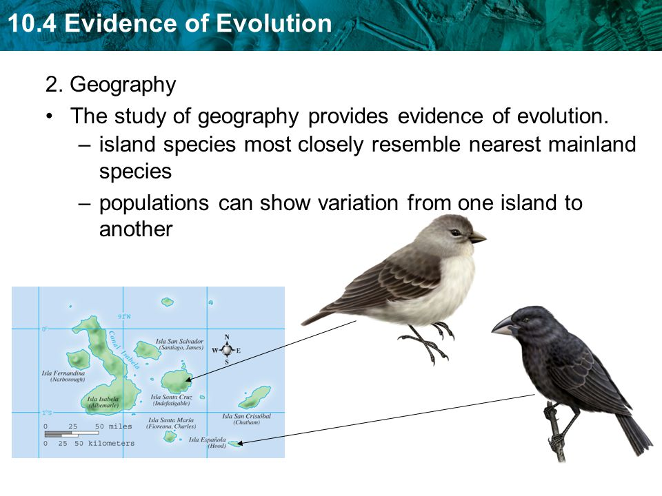 2. Geography The study of geography provides evidence of evolution. island species most closely resemble nearest mainland species.