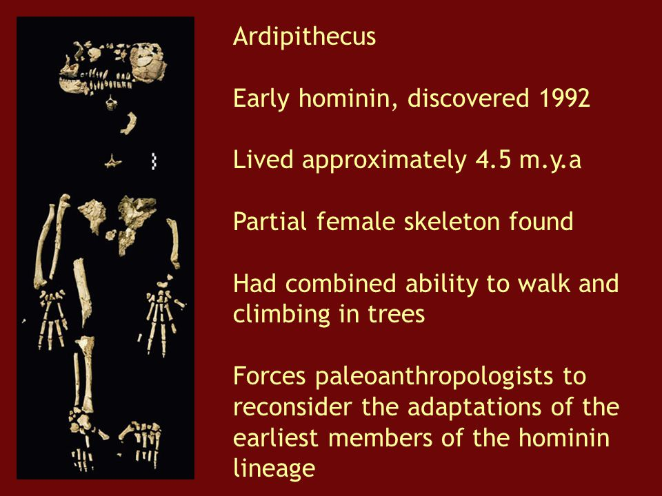 Ardipithecus Early hominin, discovered 1992. Lived approximately 4.5 m.y.a. Partial female skeleton found.