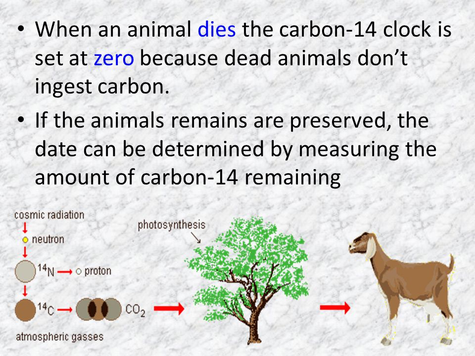 When an animal dies the carbon-14 clock is set at zero because dead animals don't ingest carbon.