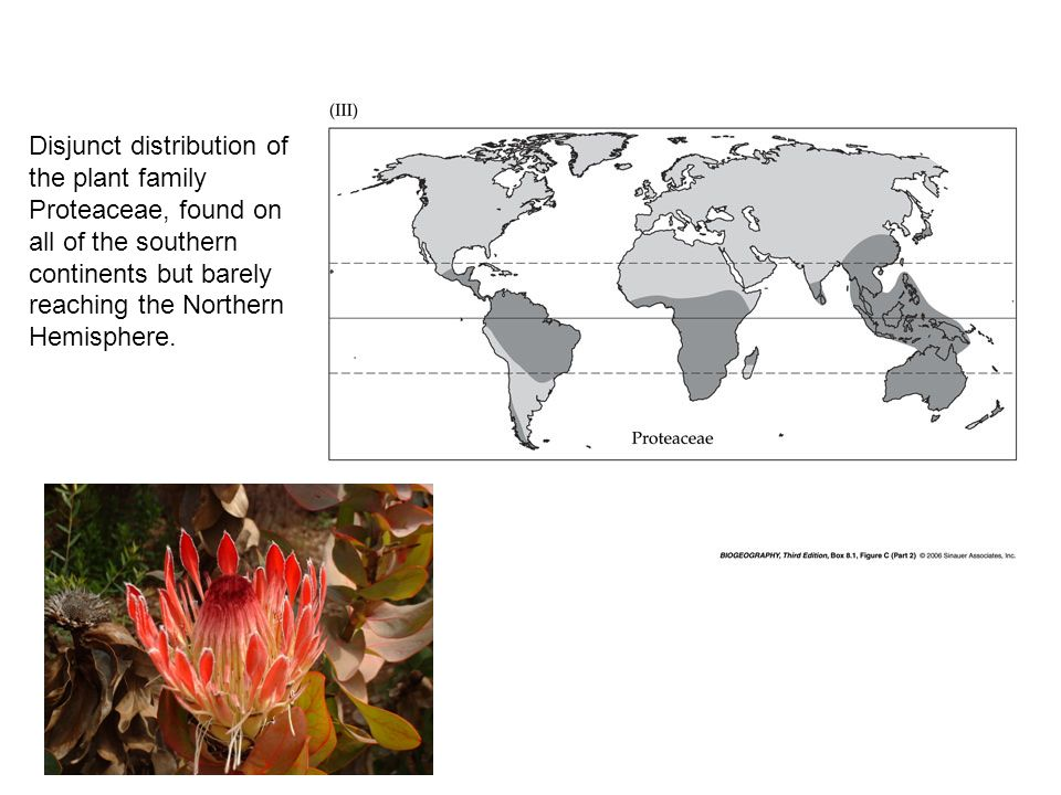 Disjunct distribution of the plant family Proteaceae, found on all of the southern continents but barely reaching the Northern Hemisphere.