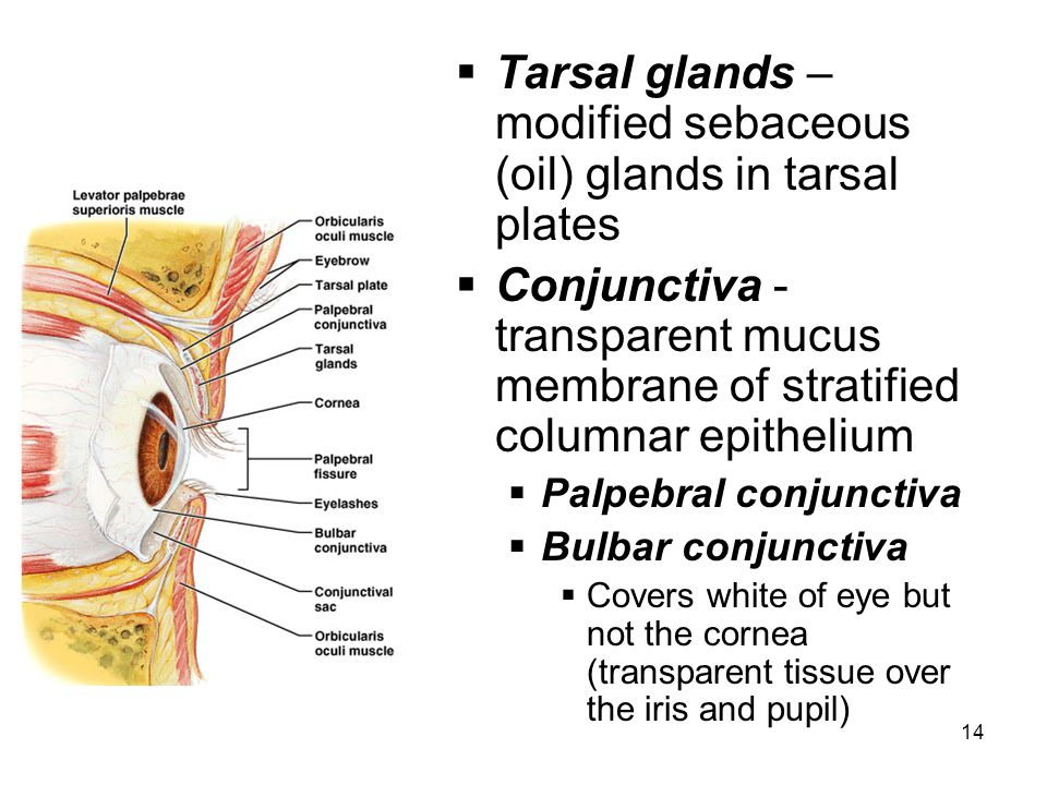 Tarsal glands – modified sebaceous (oil) glands in tarsal plates