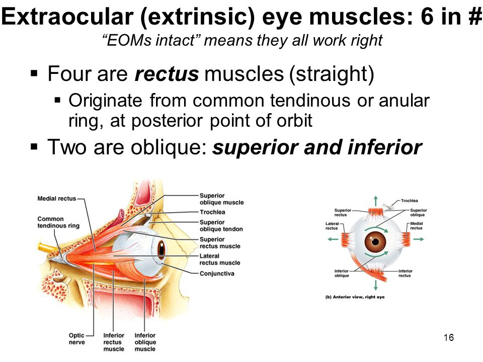 Extraocular (extrinsic) eye muscles: 6 in # EOMs intact means they all work right