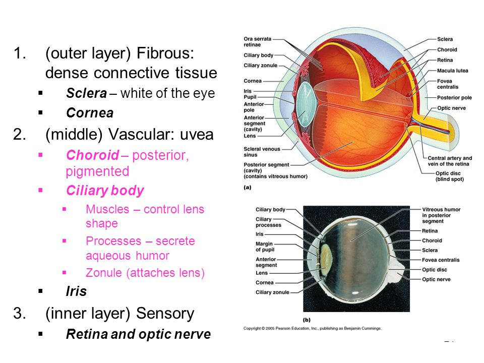 (outer layer) Fibrous: dense connective tissue