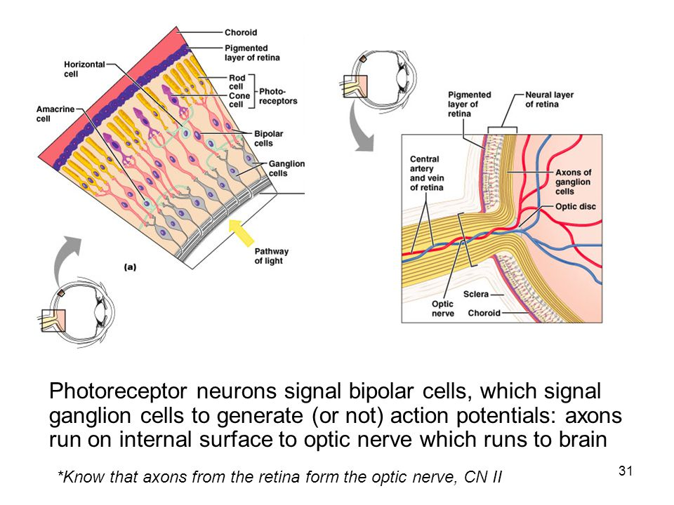 Photoreceptor neurons signal bipolar cells, which signal ganglion cells to generate (or not) action potentials: axons run on internal surface to optic nerve which runs to brain