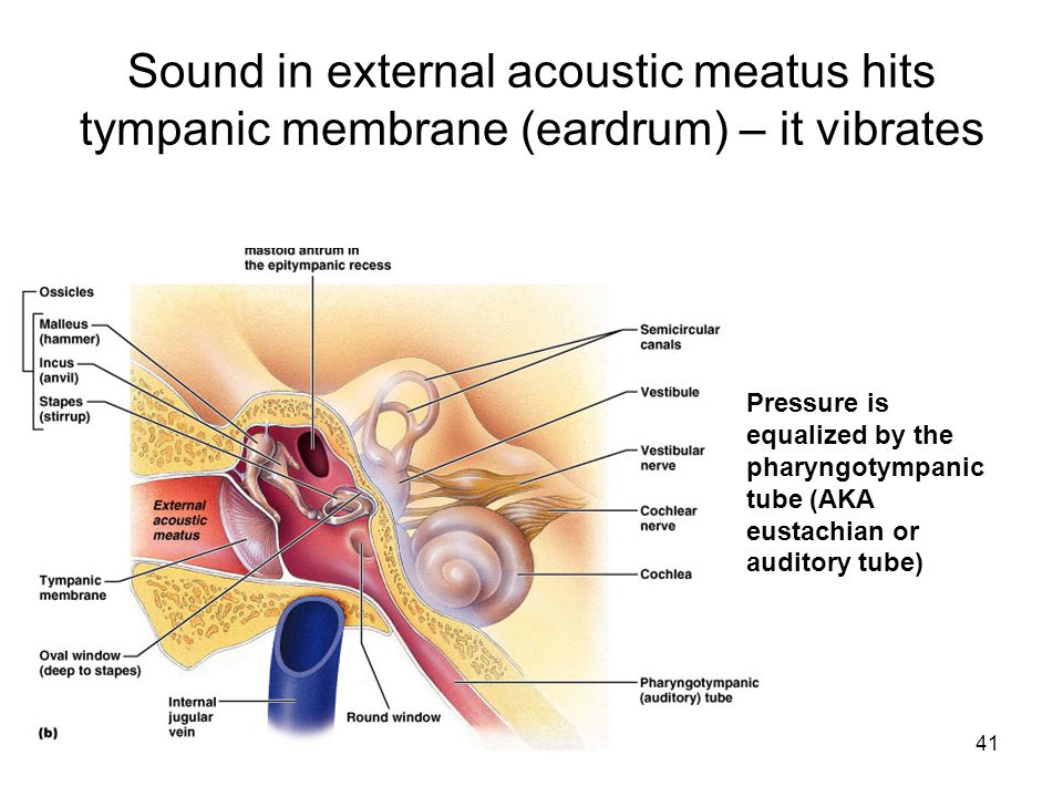 Sound in external acoustic meatus hits tympanic membrane (eardrum) – it vibrates