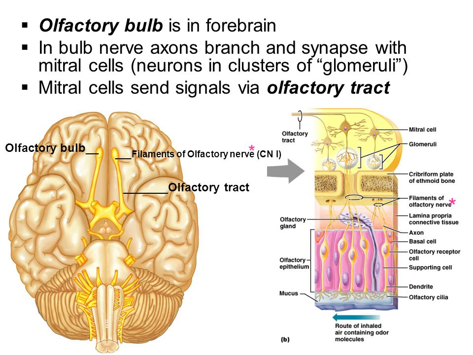 * Olfactory bulb is in forebrain