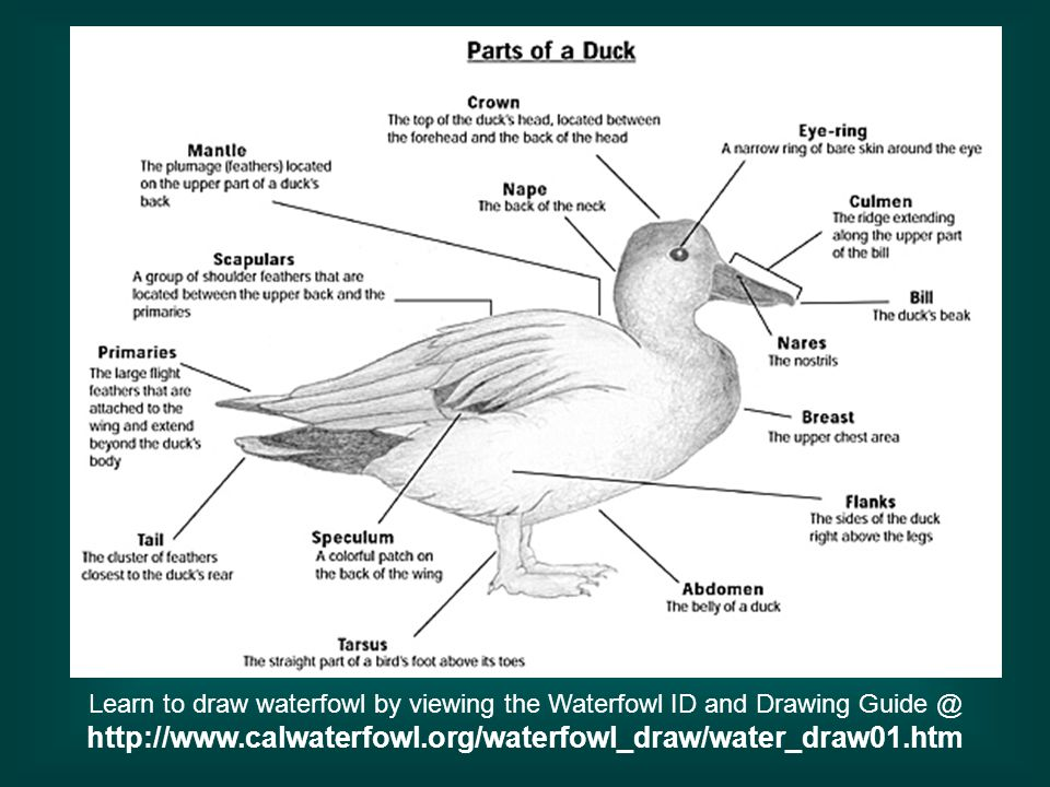 This website given gives step by step instructions on how to draw a duck or goose, and give several examples of species.