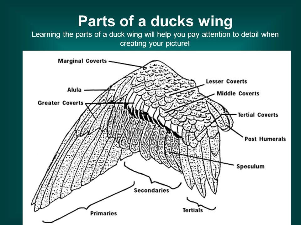 Parts of a ducks wing Learning the parts of a duck wing will help you pay attention to detail when creating your picture!
