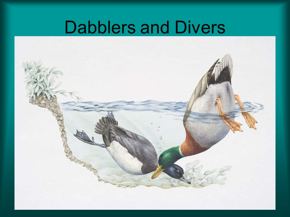Dabblers and Divers