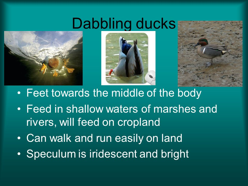 Dabbling ducks Feet towards the middle of the body