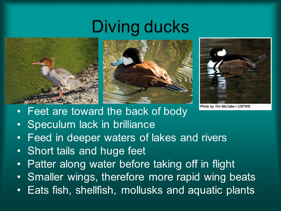 Diving ducks Feet are toward the back of body