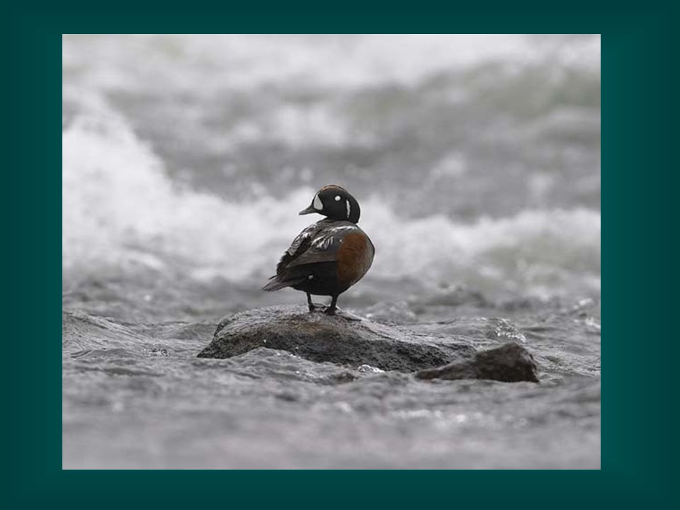 Harlequin Duck-notice the habitat which the harlequin prefers.