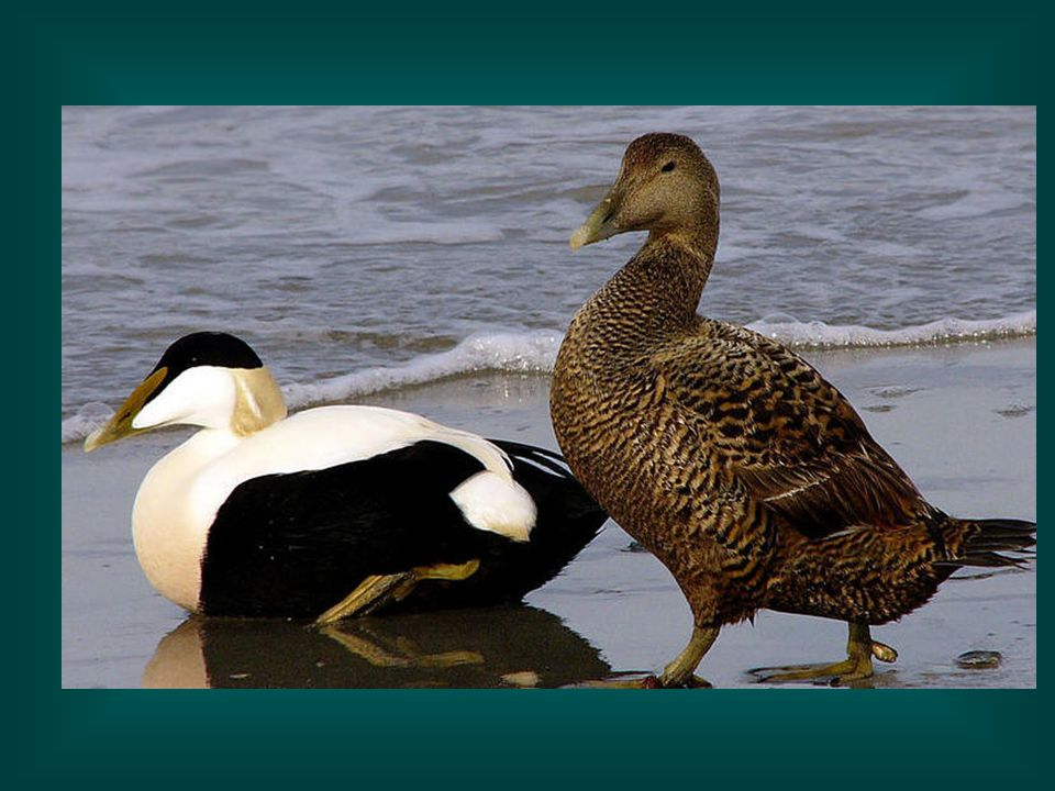 Eiders-another sea duck