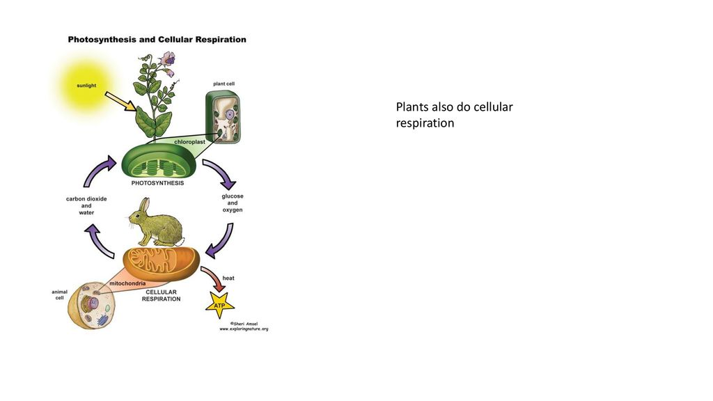 Your Diagram Showing The Relationship Between Photosynthesis And Cellular Respiration Should Include The Organelles Involved In Each Label The Materials Ppt Download