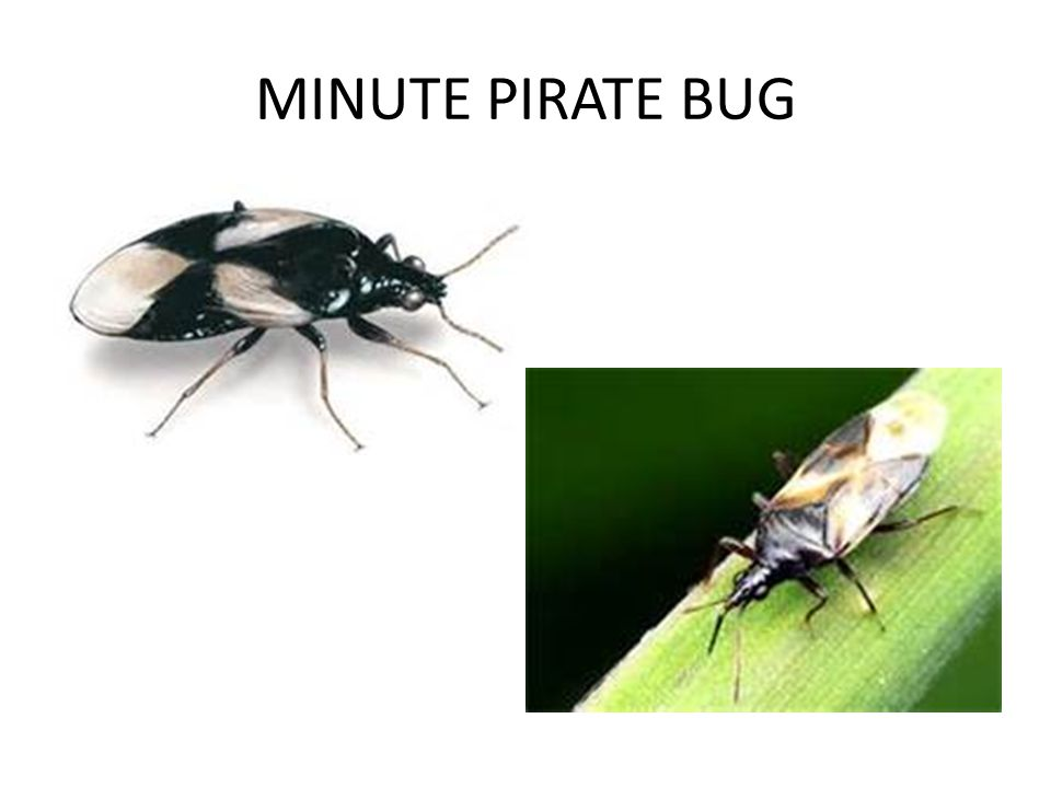 MINUTE PIRATE BUG