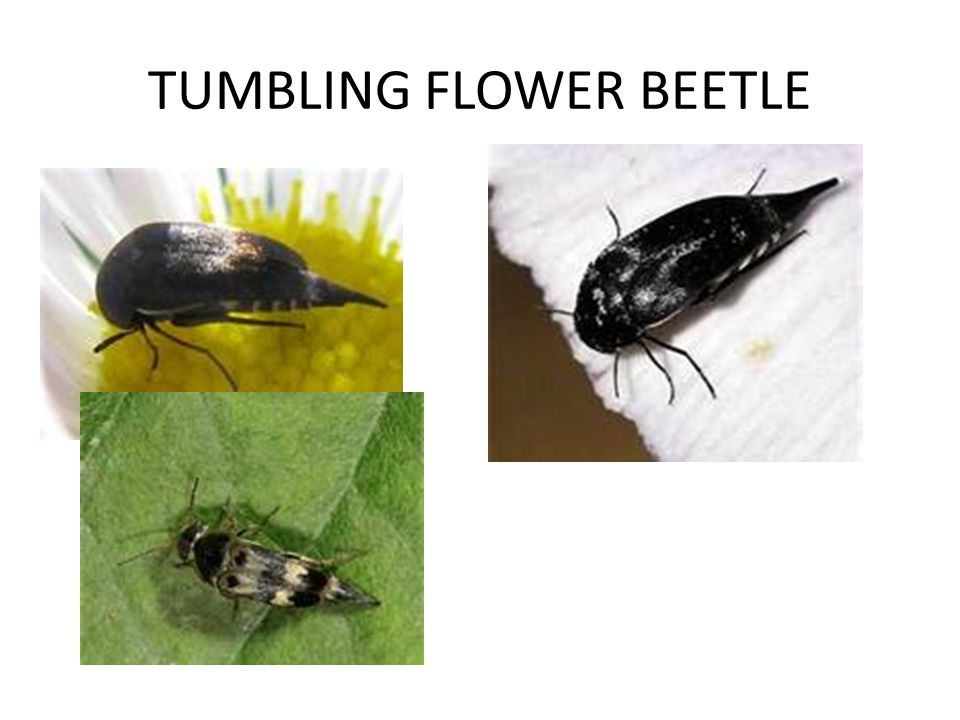 TUMBLING FLOWER BEETLE