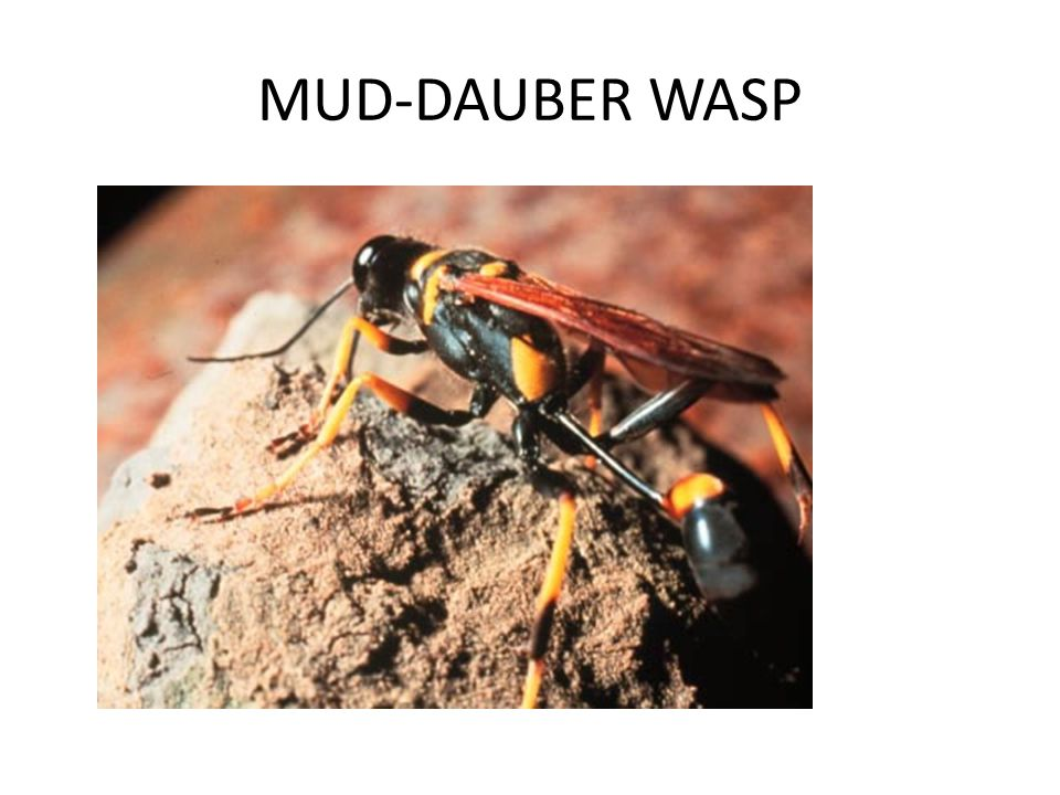 MUD-DAUBER WASP