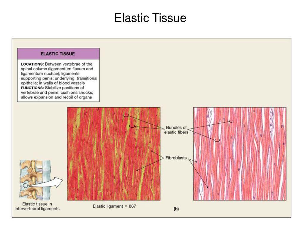 24 elastic tissue