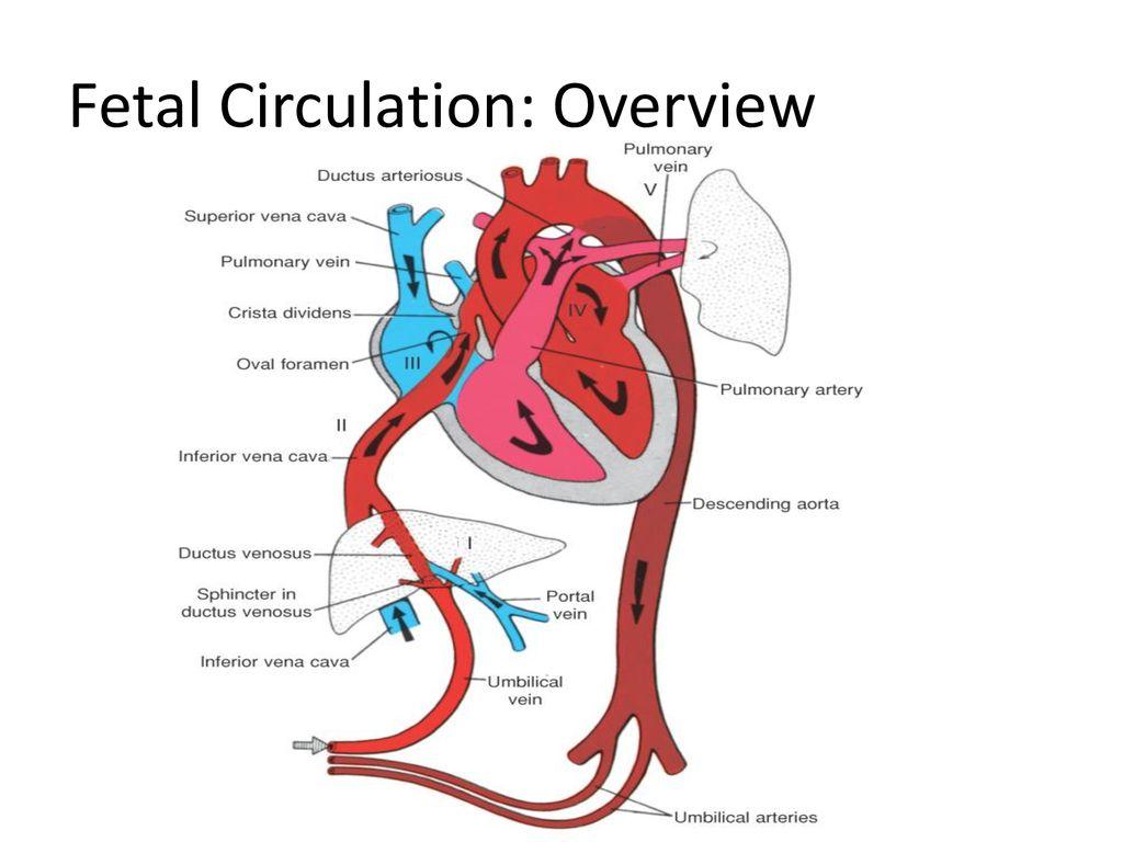 Fetal Circulation.   ppt download