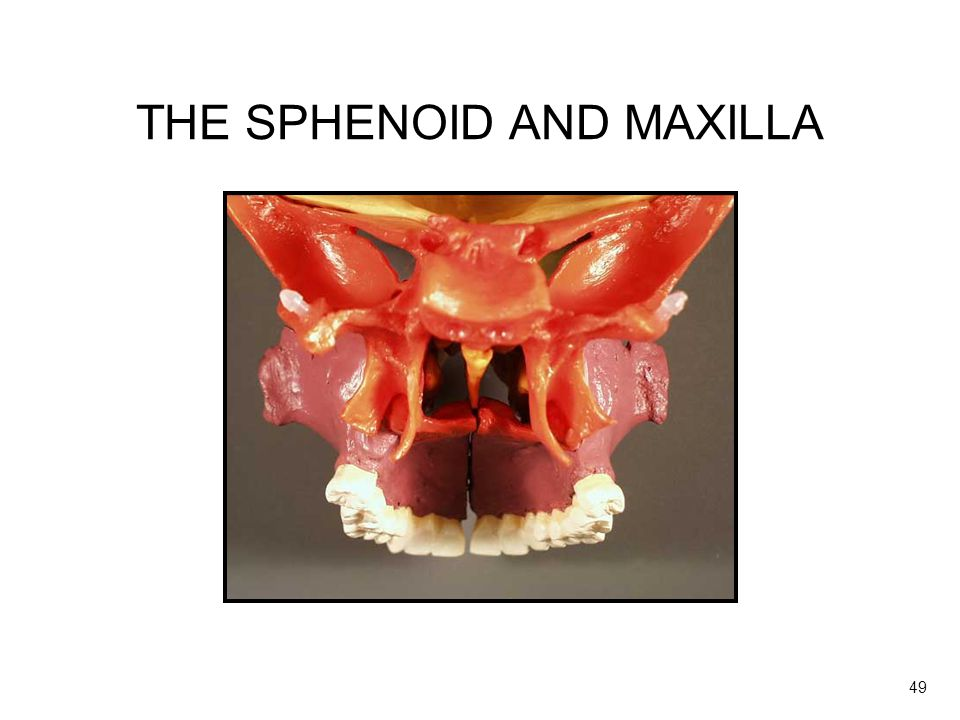 THE SPHENOID AND MAXILLA