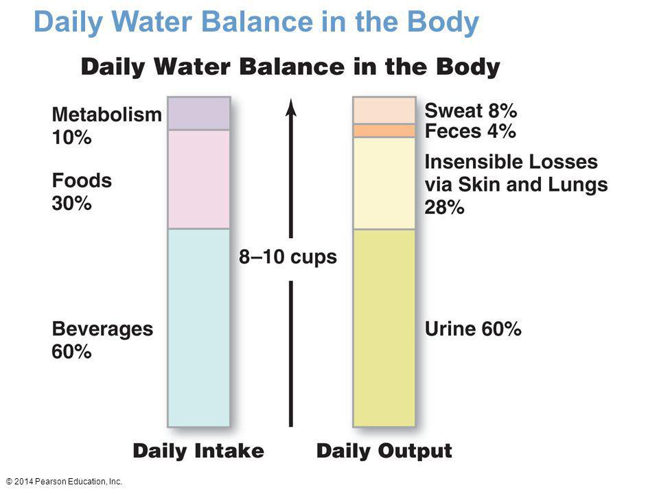 Daily Water Balance in the Body