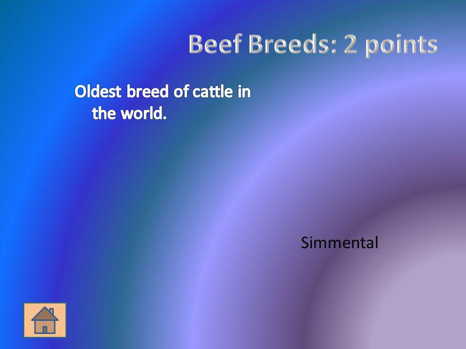 Beef Breeds: 2 points Oldest breed of cattle in the world. Simmental