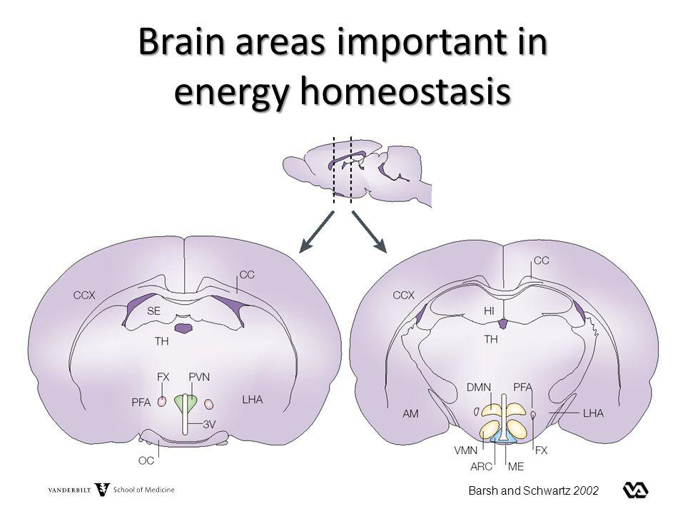 Brain areas important in energy homeostasis
