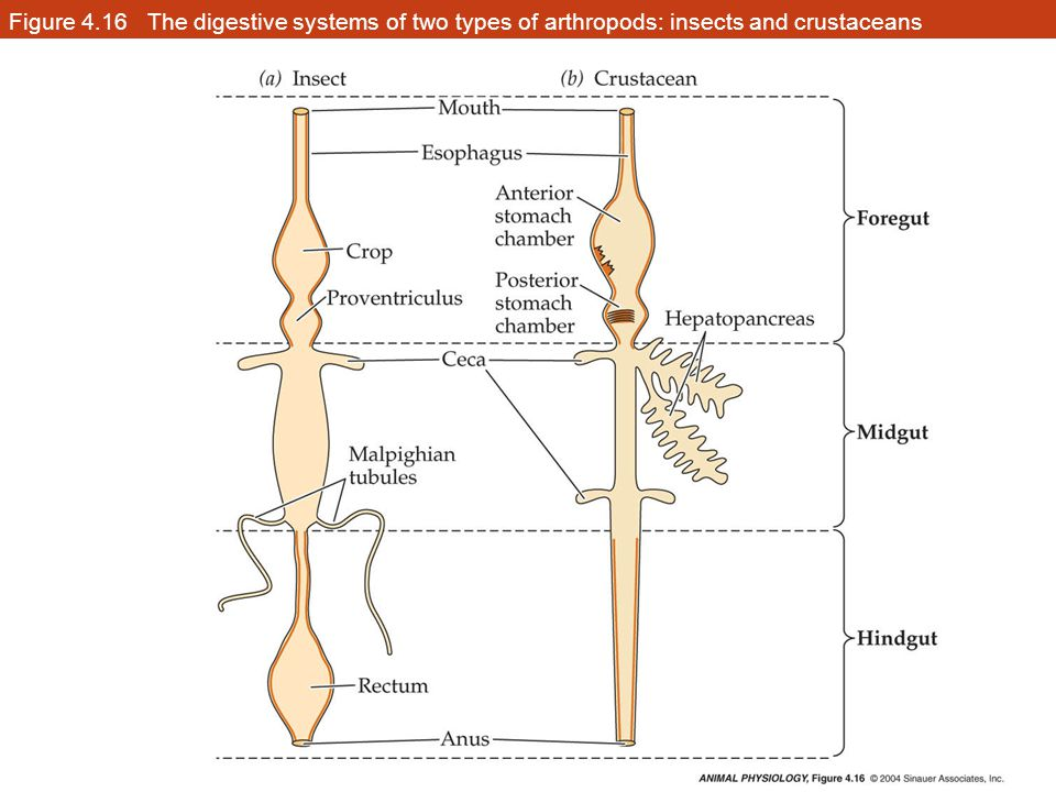Figure 4.16 The digestive systems of two types of arthropods: insects and crustaceans
